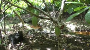 Kakaoplantage